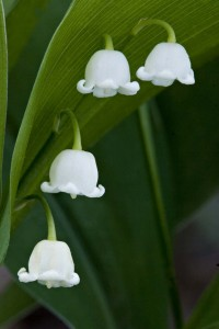 Finland Flower Lily-of-the-Valley