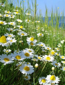 National Russian Flower Chamomile