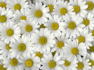 National Russian Flower Chamomile romashki