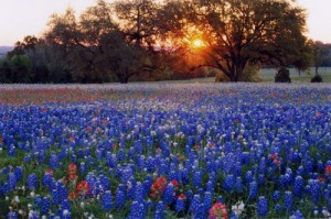 The state flower of texas the bluebonnet the leaves are in a star shape reminiscent of the lone star the state is famous for in the spring a drive through the center of texas will take your mightylinksfo