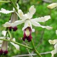 myrmecophilathomsonianathomsoniana