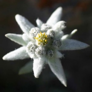 6aEdelweiss