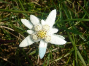 800px-edelweiss_20060730