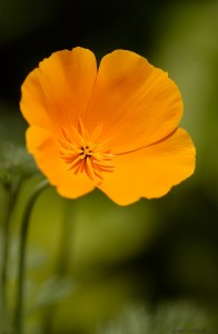 CaliforniaPoppy_