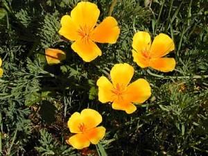 California_poppy