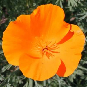 Poppy,California