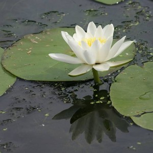 nymphaea-water-lily