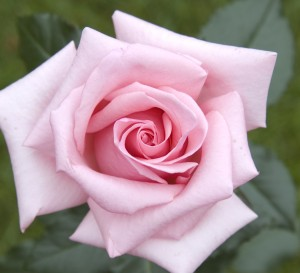 New-York-Rose