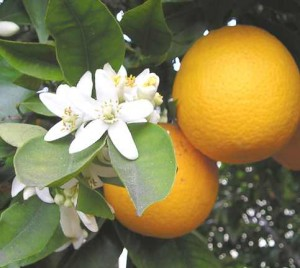 Orange_Blossom