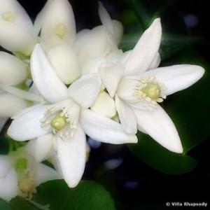 florida orange blossom