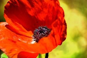 3146642-2-red-poppy