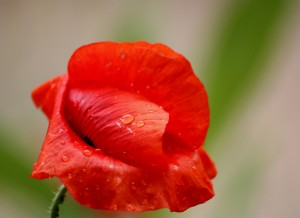 3373456-3-red-poppy-with-dew