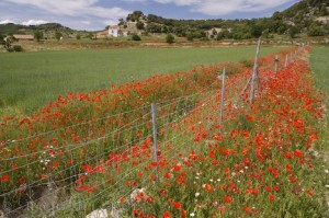 red-poppy-field_11719