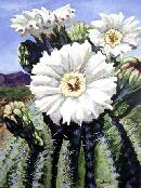 Saguaro_Bloom