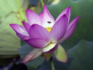 Egypt flower pictures lotus mightylinksfo