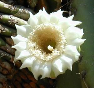 cactus-blossom