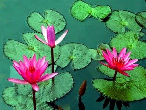 The national flower of egypt the lotus national flower of egypt lotus mightylinksfo