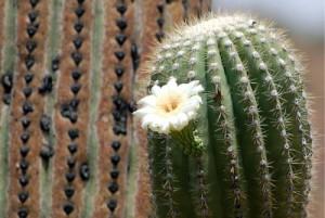 saguaro_flower
