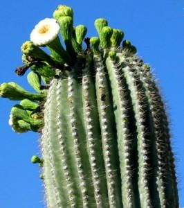 saguaroblossom