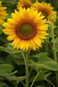 sunflower-kansas-state-flower