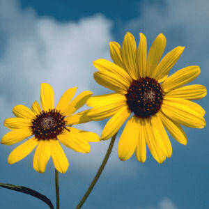 wild_native_sunflower