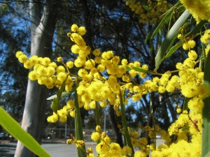 Golden Wattle Australia