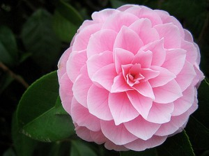 Camellia Alabama