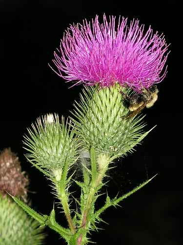 Scotland National Flower - Thistle - Pictures