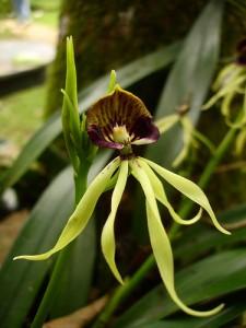 Black Orchid Belize