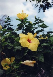 Hawaii State Flower The Yellow Hibiscus