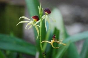 Black Orchid Belize