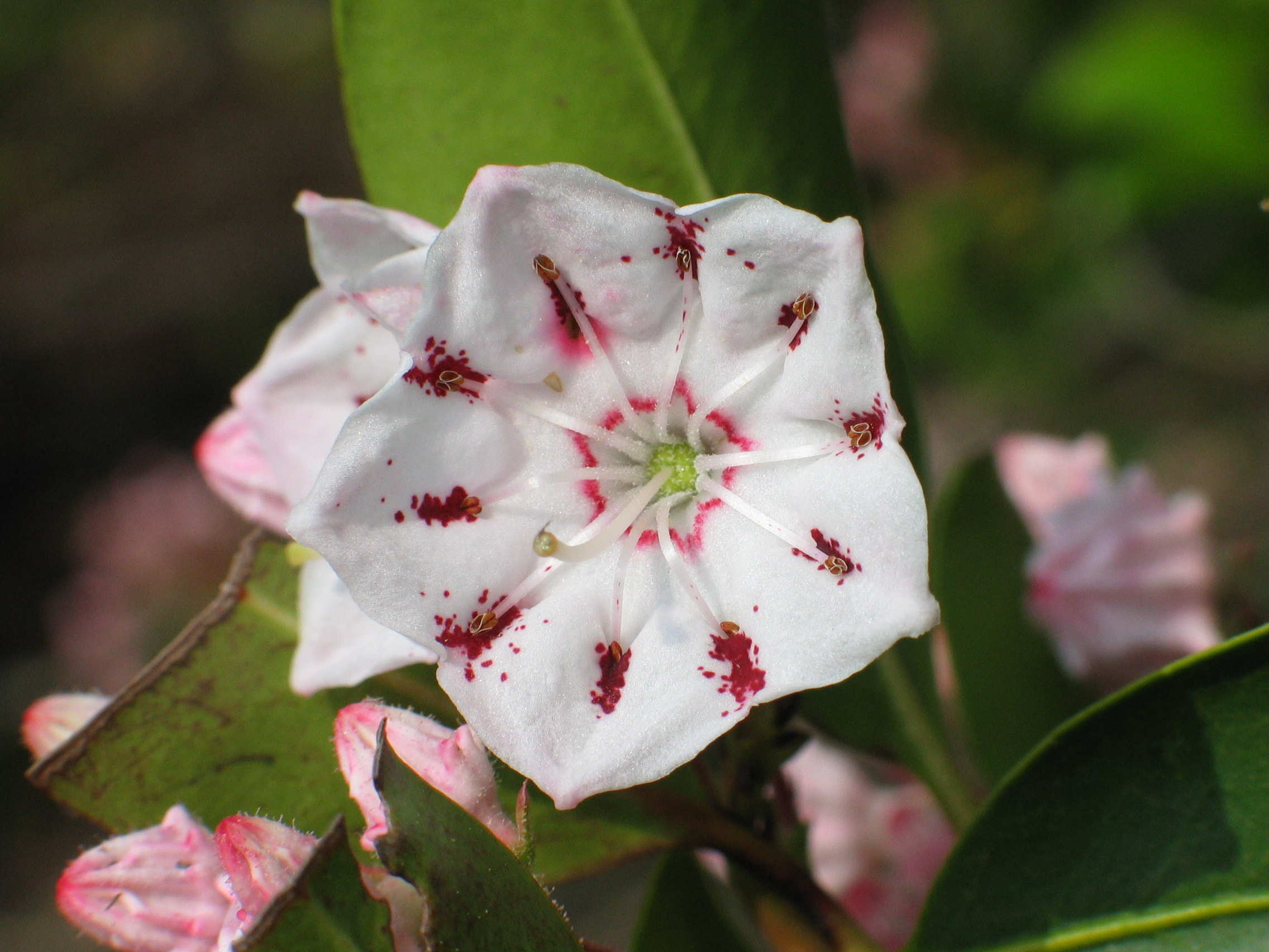 The State Flower of Connecticut – Mountain Laurel