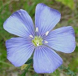 Flax Belarus National Flower
