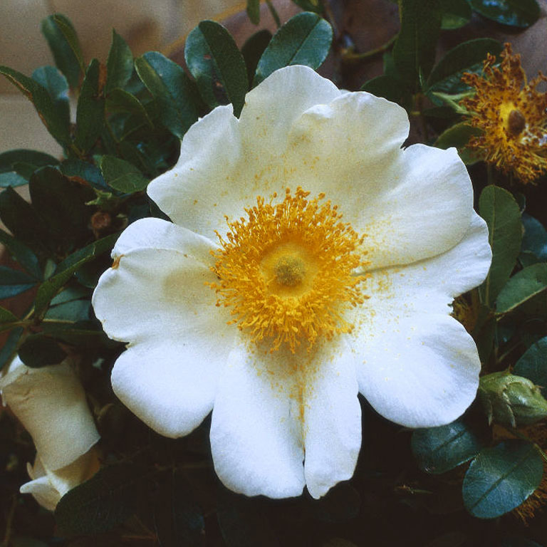 Georgia state flower the cherokee rose pictures for Cherokee rose