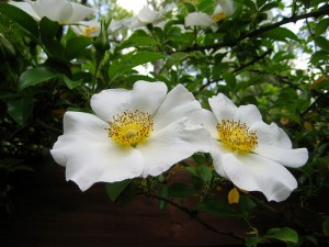 Georgia State Flower the Cherokee Rose