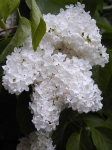 Idaho State Flower Syringa