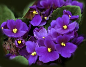 Illinois State Flower Pictures The Violet