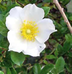 Georgia State Flower the Cherokee Rose