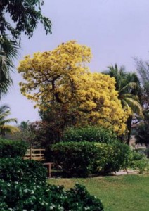 Bahamas National Flower Yellow Edler