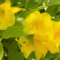 National Flower of the Bahamas Yellow Edler Pictures