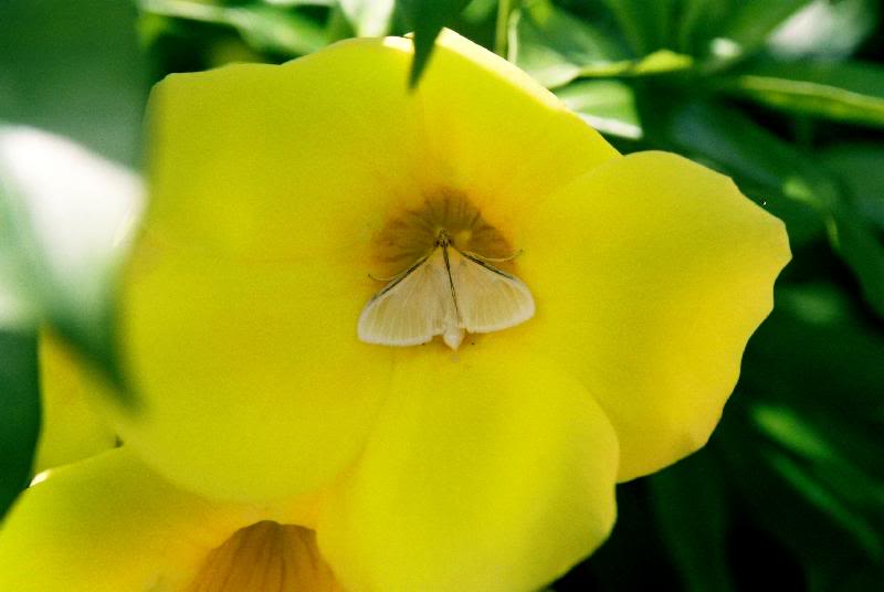 National flower of the bahamas yellow edler pictures national flower of the bahamas yellow edler mightylinksfo Image collections