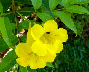 National Flower of the Bahamas Yellow Edler Pic
