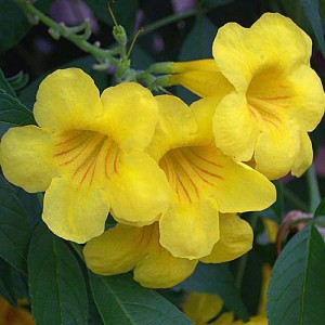 National Flower of the Bahamas Yellow Edler