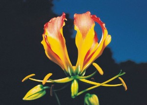 Zimbabwe National Flower Flame Lily