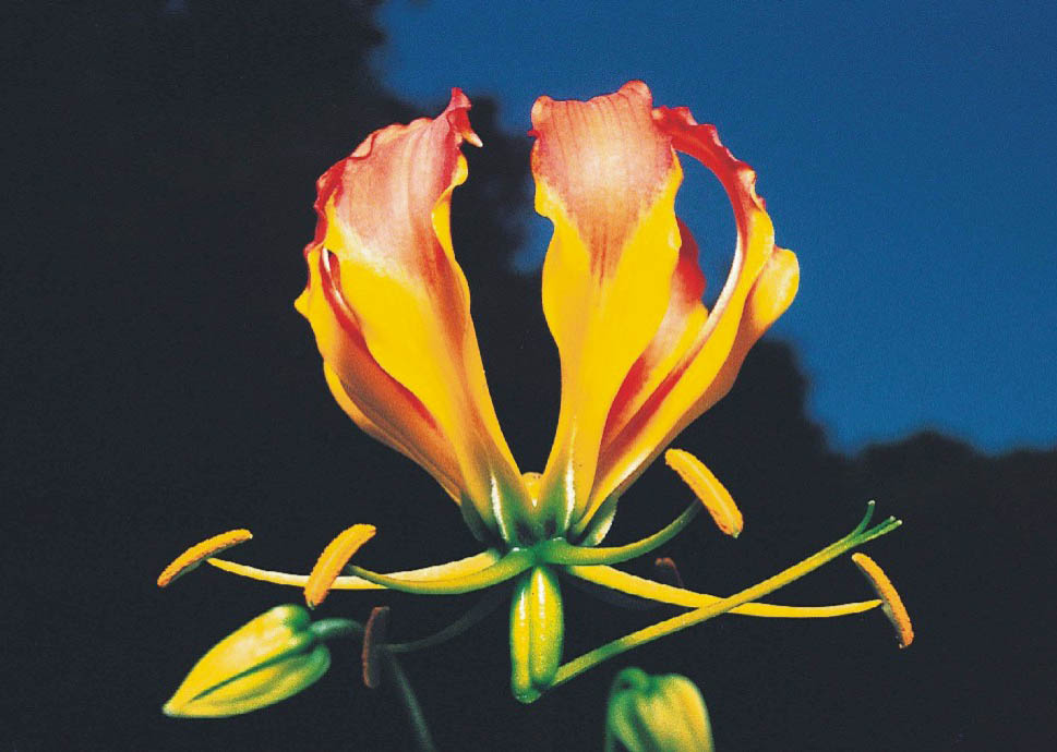 National flower of zimbabwe flame lily zimbabwe national flower flame lily mightylinksfo