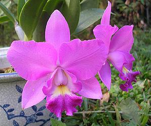 Guaria Morada  National Flower of Costa Rica