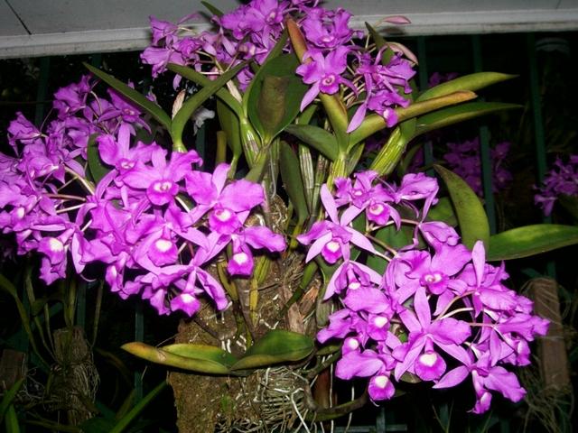 Guaria Morada the national flower of Costa Rica | Guaria ... |Guaria Morada