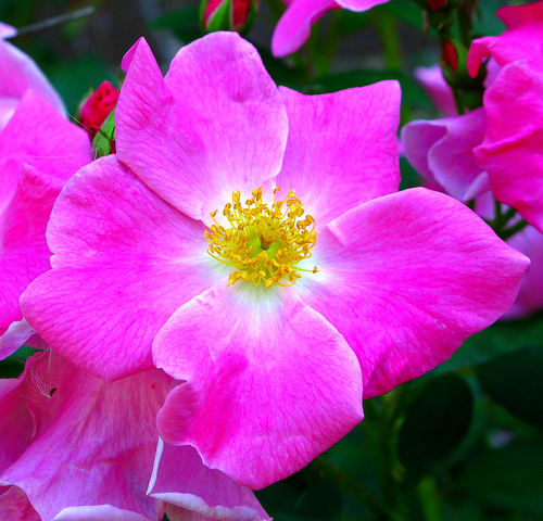 state flower of iowa wild prairie roses pictures. Black Bedroom Furniture Sets. Home Design Ideas