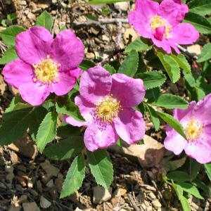 Iowa state flower Wild Prairie Rose pictures