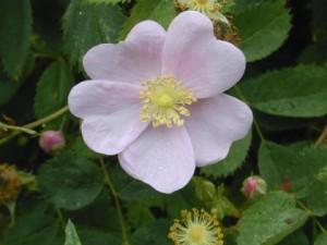 Iowa state flower Wild Prairie Rose